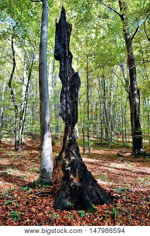 Burnt tree after lightning strike in the middle of a beech forest