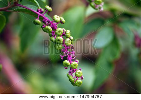 Brush with green berries on blurry background