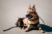 Brown German Sheepdog And Black Miniature Pinscher Pincher Sitting Together On Road poster