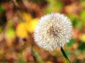 Color photo of white dandelion flower in the summer poster