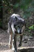 The wolf (Canis lupus) in the forest poster
