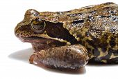 brown frog on white background. side view poster