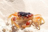 Crab on a caribbean beach in Dominican Republic poster