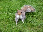 A squirrel looking for food in a park in poster