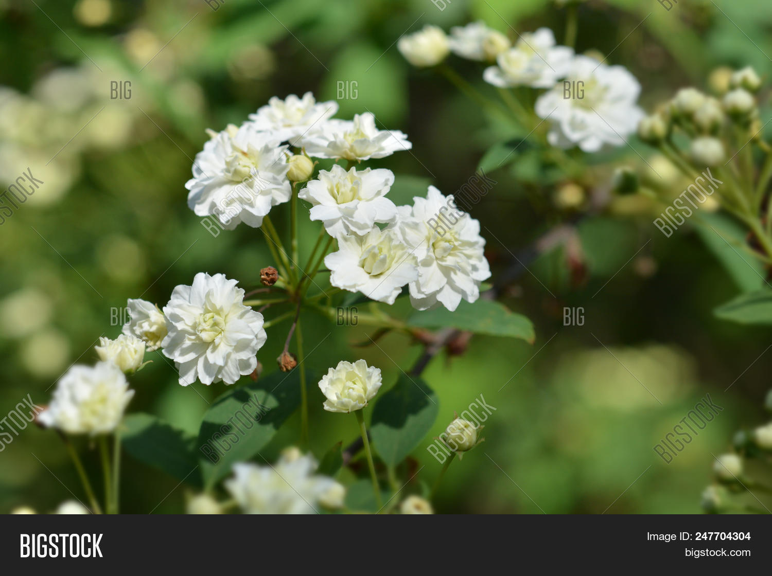 Double Reeves Spirea Image Photo Free Trial Bigstock