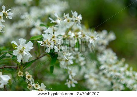 Blooming Pearl Bush In Sommer Season At Park