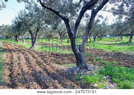 Weeding and tillage in an olive grove with a crawler tractor. Sunny summer day. Greece. poster