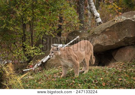 Adult Male Cougar (puma Concolor) Stands In Front Of Den - Captive Animal