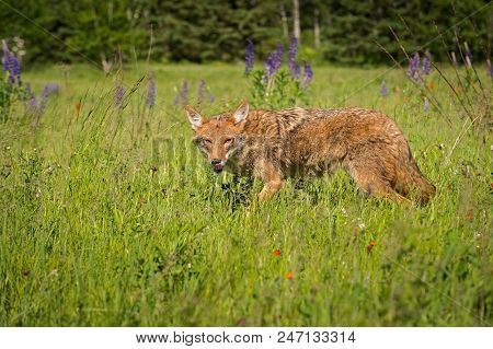 Coyote (canis Latrans) Looks Out Licking Nose - Captive Animal