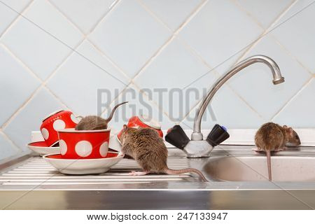Three Young Rats (rattus Norvegicus) At Kitchen. One Rat  Crawls Into Red Cup. Fight With Rodents In