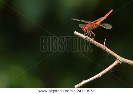 Red Marsh Trotter Dragon fly