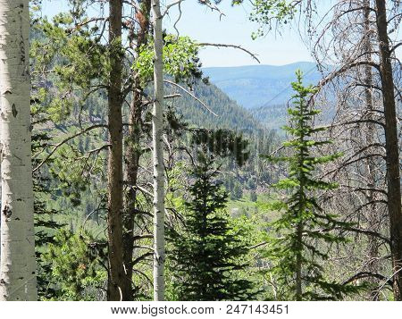 Summer Quaking Aspen Surrounded By Pine Trees Of The Rocky Mountain Wilderness