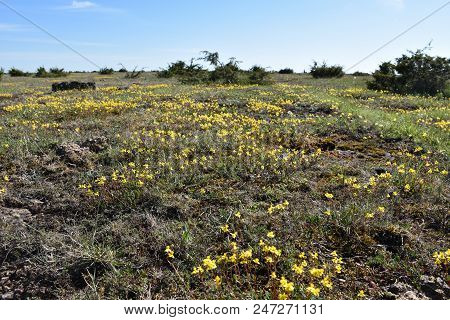 Low Angle View With Blossom Yellow Flowers At The Great Plain Alvar Landscape On The Swedish Island