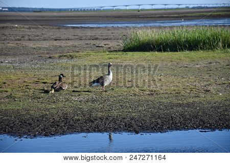 Canadian Goose And A Greylag Goose With Chicks In A Wetland At The Swedish Island Oland