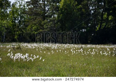 Summer View With Blossom Cotton Grass At The Swedish Island Oland