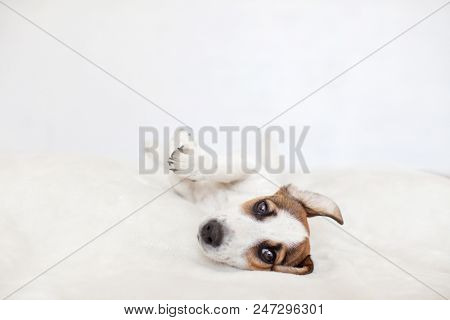 Cute dog. Puppy lying on bed.