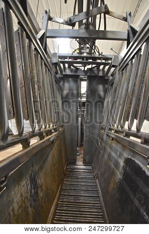 Modern Mechanized Cattle Chute Which Allow Veterinarians And Researchers To Treat An Animal With No