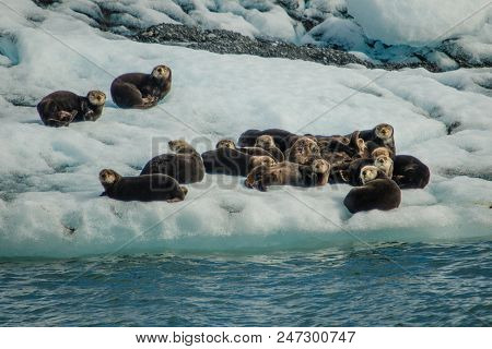 Sea Otters Resting On Ice Floe In Prince William Sound, Alaska, Wildlife Of Seward In Kenai Peninsul
