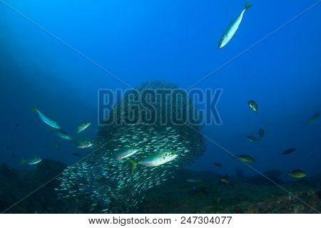 Sardines fish and mackerel hunting