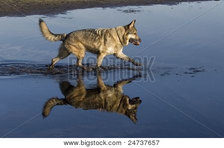 German Shepherd Dog In Water With Reflection