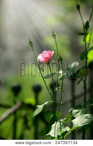 an image of pink rose in nature
