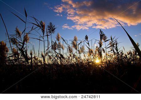 Sunset Through The Grass