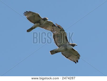 Pair of Red-tailed Hawks in flight against a blue sky poster