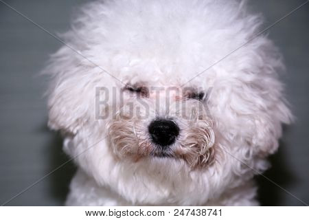 Dirty Dog. Bichon Frise Dog needs a bath. Bichon Puppy with a dirty face from playing outside.