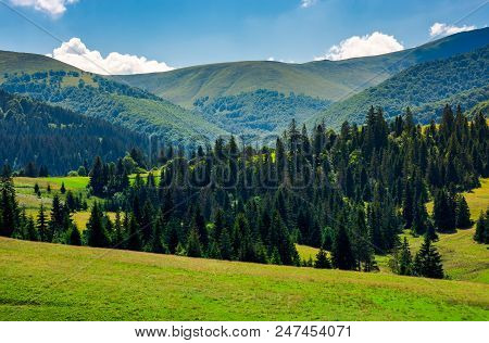 Spruce Forest On Grassy Hills Of Pylypets. Beautiful Countryside At The Foot Of Mighty Borzhava Moun