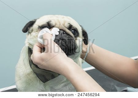 Cleaning The Eyes With A Hygienic Pad Of A Mops Dog.