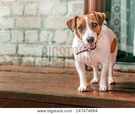 Front Portrait Of Small Cute Happy Smiling Dog Jack Russel Terrier Standing Outside On Wooden Porch