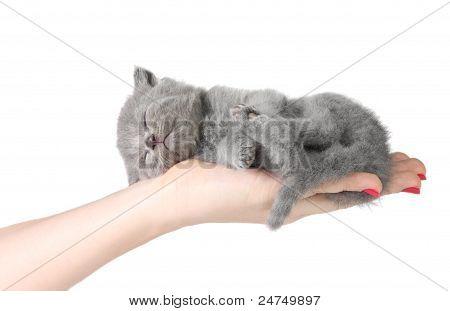 Little Kitten In The Hands