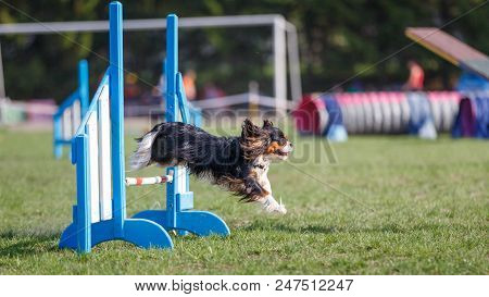 Cavalier King Charles Spaniel jumping over hurdle in dog agility competition. Panoramic image with copy space poster