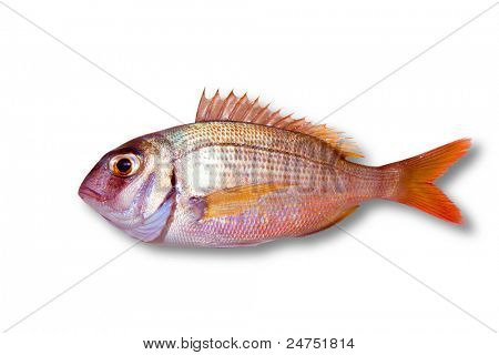Common sea bream pagrus fish isolated on white poster