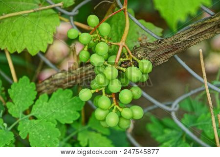 Green Berries Of Grapes On A Branch Of A Bush In The Garden