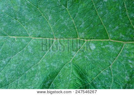 Natural Vegetative Texture Of A Large Green Leaf