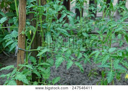 Green Bushes Of Tomatoes On The Beds
