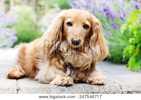 A purebred longhair English cream colored dachshund dog, outside in the garden.