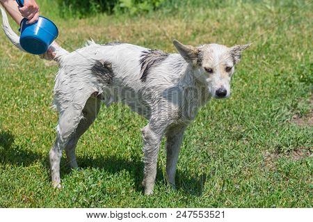 Outdoor Wash Procedure For White Mixed-breed Patient Dog.