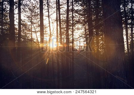 Sunrise In Pine Fores Nature. First Sunlight In Pine Forest. Early Morning Sunrise In Nature. Sun Ra
