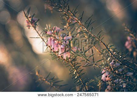 Wild Nature Flowers Background. Wild Pink Flowers Background. Close Up Of Pink Forest Flowers.mornin