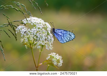 Butterfly With Blue Wings Sits On The Field Flower - Macro
