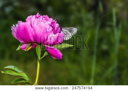 Butterfly With White Wings Sitting On Bud Of Peony - Macro