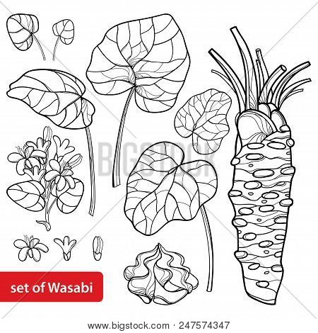 Vector Set Of Outline Wasabi Or Japanese Horseradish, Leaf, Root, Raw And Flower In Black Isolated O