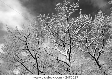 Winter Tree Tops In Black And White