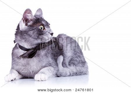 Cute Cat With A Bow Tie At Its Neck