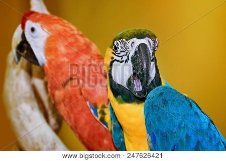 Two Macaw Parrot Over The Yellow Background