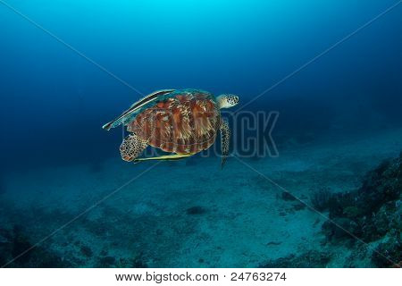 green turtle (Chelonia mydas) swimming like flying