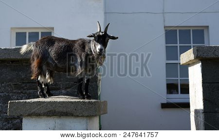 A Young Goat Standing On A Garden Pillar