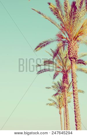 Row Of Tall Palm Trees On Toned Light Turquoise Sky Background. 60s Vintage Style Copy Space For Tex